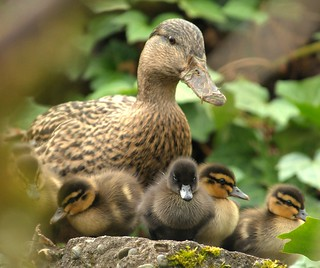 Ducklings......