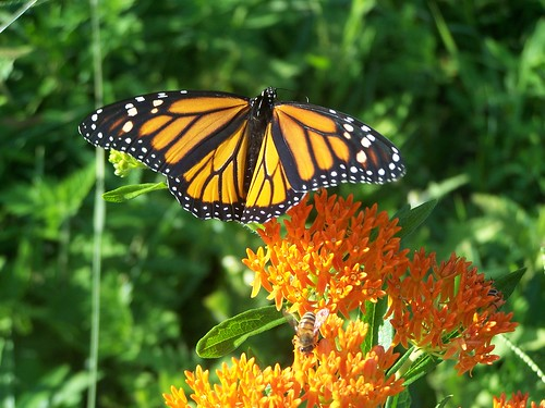 Monarch Butterfly 2 by paynehollow