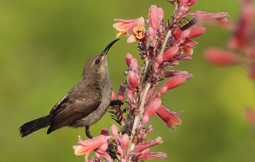 Good Morning Sunbird