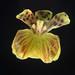 Coppensia paranaensis (Kraenzl.) F.Barros & V.T.Rodrigues