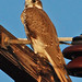 Prairie Falcon - Photo (c) Jerry Oldenettel, some rights reserved (CC BY-NC-SA)