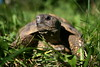 "<a href=""http://www.flickr.com/photos/denial_land/2860466221/"">Photo of Testudo hermanni by caruba</a>"