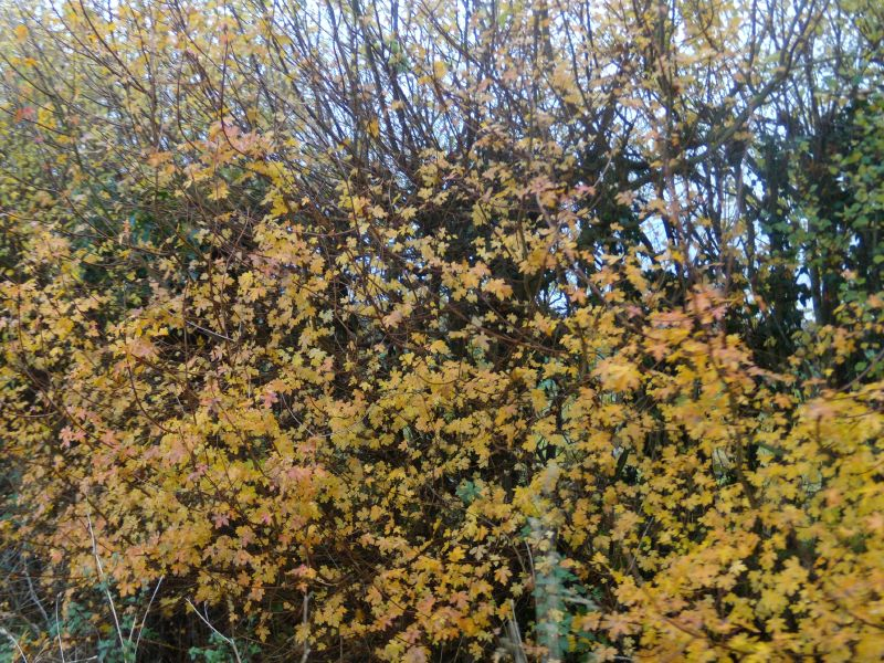 maple leaves Wakes Colne to Bures