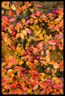 Barberry :: Fall
