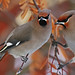 Bohemian Waxwings by Don Delaney