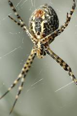 Banded garden spider - כסופי דק פסים