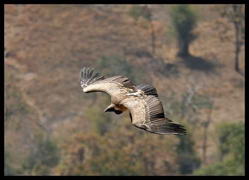 Indian Vulture (Gyps indicus) flying high in Bandhavgarh National Park, India