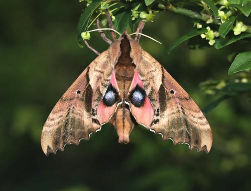 lepidoptera moths sphingidae blindedsphinx paoniasexcaecatus paonias butterfliesandmoths sphinxmoths bombycoidea smerinthini aplusphoto blindedsphinxmoth smerinthinae sphingidaemundi
