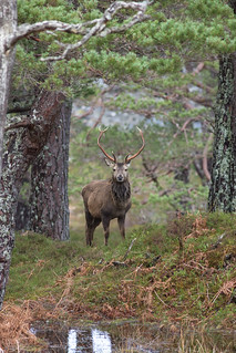 Red Stag - Red Deer (Cervus elaphus) - Scottish Highlands