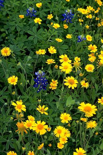 flower geotagged spring flora texas bluebonnet wildflowers bluebonnets lupine stateflower texaswildflowers lupinustexensis texasstateflower dewittcounty huisachedaisies