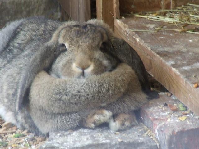 Rabbit Fat 71
