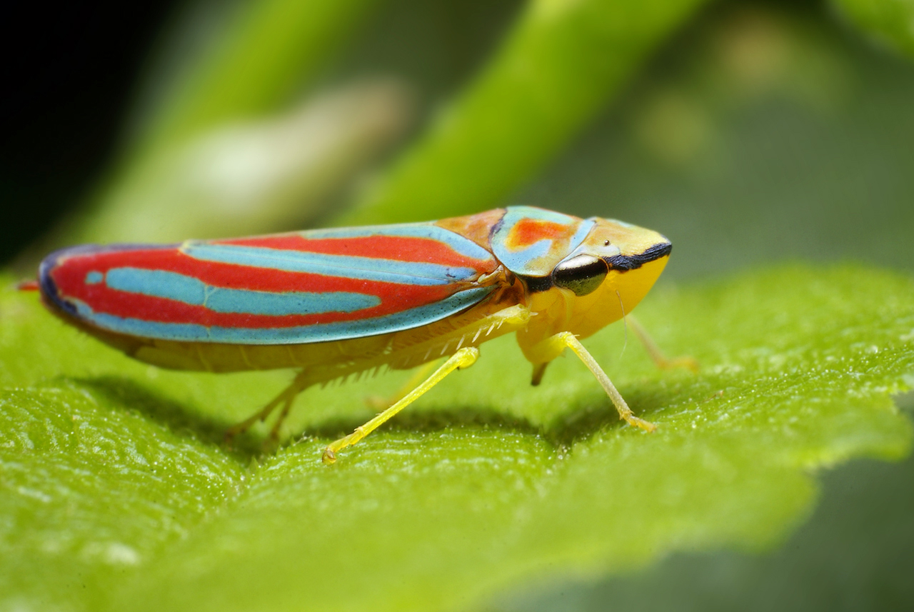 Colorful Red-Banded Leaf Hopper (Graphocephala coccinea)