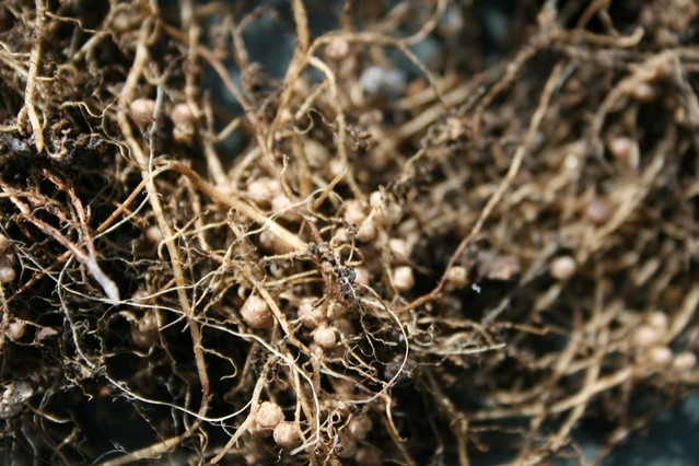 Nitrogen nodules on bean roots