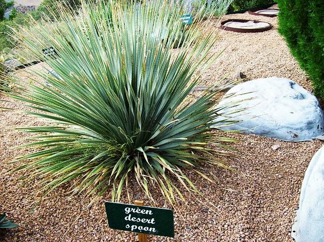 Desert Spoon Cactus