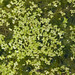 Lemna minor 'Common/Lesser Duckweed' by dougwaylett