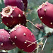 Prickly Pear Cactus Fruit