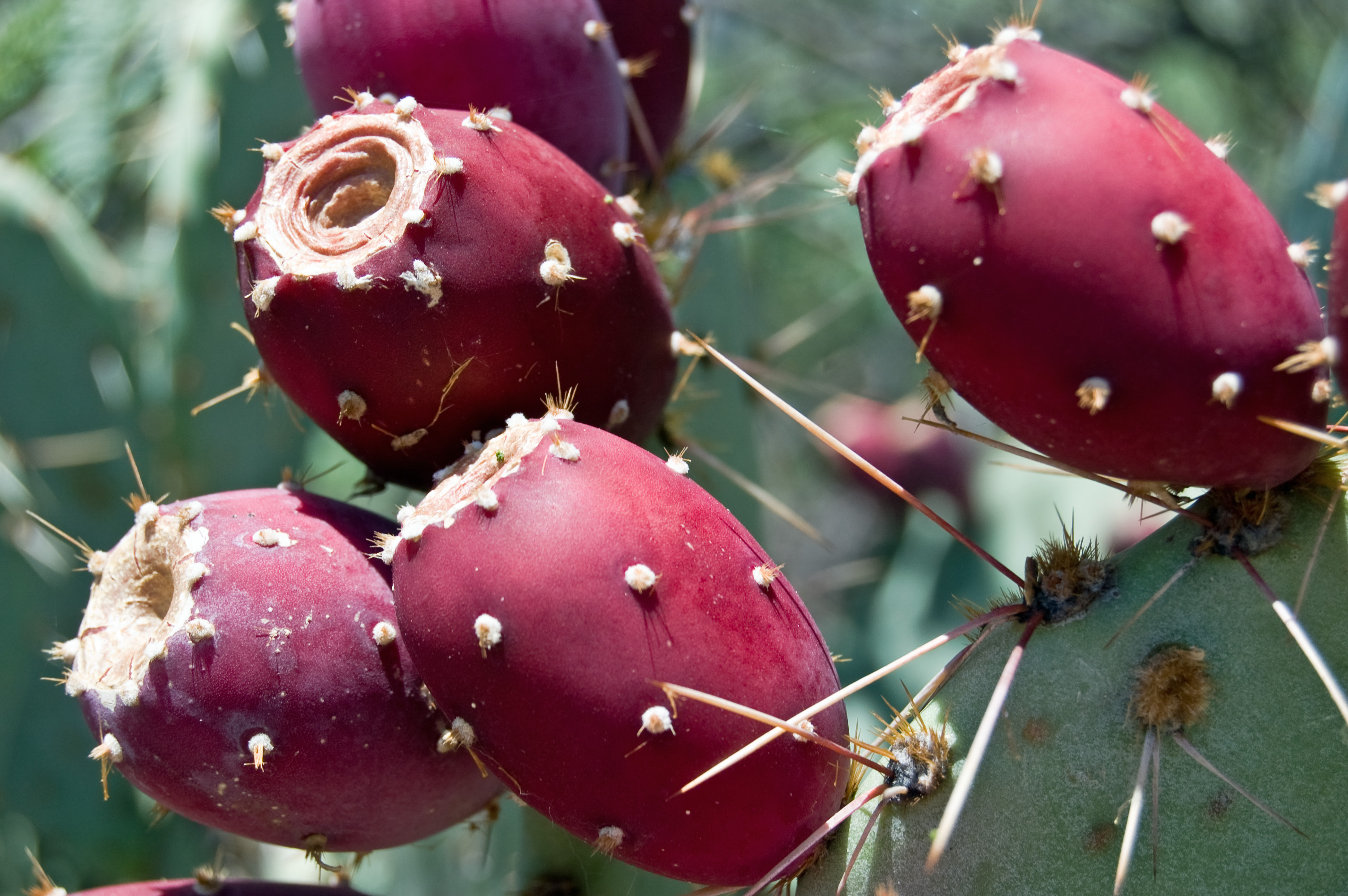 Prickly Pear Cactus Fruit | Flickr - Photo Sharing! - photo#32
