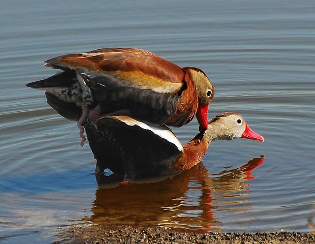 Duck Sex 84