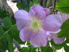 blossom(0.0), shrub(0.0), produce(0.0), flower(1.0), rosa gallica(1.0), plant(1.0), rosa rubiginosa(1.0), rosa canina(1.0), flora(1.0), rosa acicularis(1.0), rosa pimpinellifolia(1.0), rosa rugosa(1.0), petal(1.0),