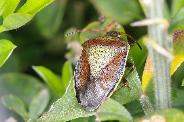 Repulsif Punaise Des Bois - Punaise des bois Flickr Photo Sharing!