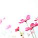 pink cosmos by Miki Nagata (bananagranola)