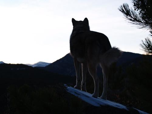 park colorado evergreen dogpark hybrid thumper offleash wolfhybrid olympuse500 elkmeadows partwolf wolfdogmix ericosmann zuiko1454mmf2835ed