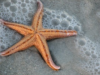 Starfish in Bubbled Incoming Tide