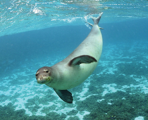 Monk Seal ( flickker photos via Compfight)