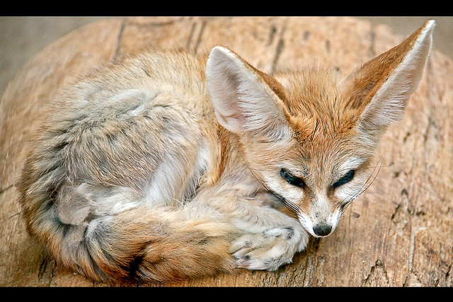 Fennec fox / Fennek | Flickr - Photo Sharing!
