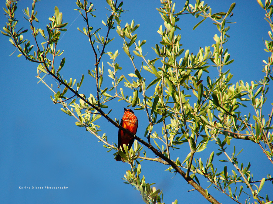 Churrinche / Vermilion Flycatcher