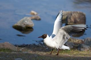 Black-headed gull spreading wings