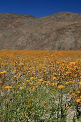 Windflowers of the Anza-Borrego desert