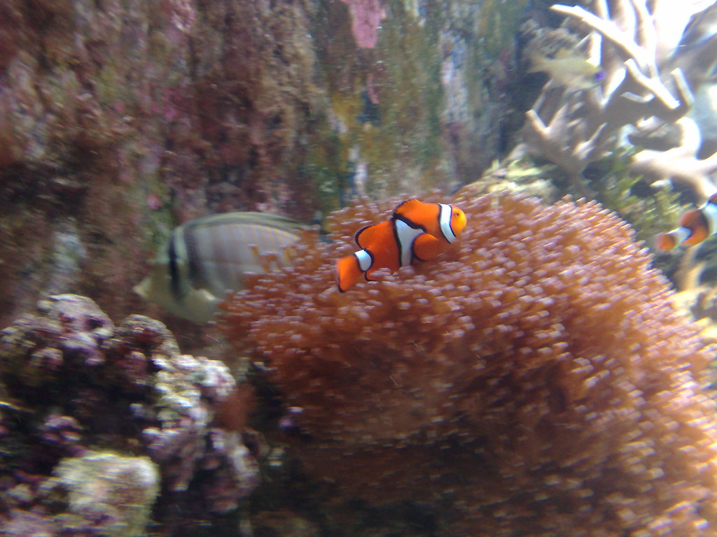 Nemo Fish Flickr - Photo Sharing!