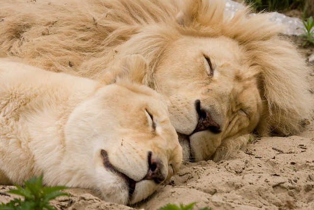 Sleeping lions | Flickr - Photo Sharing!
