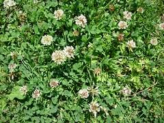 annual plant, flower, clover, plant, subshrub, wildflower, flora, meadow,