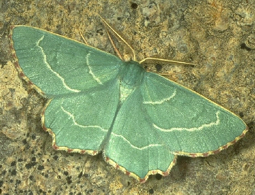 Sussex emerald moth