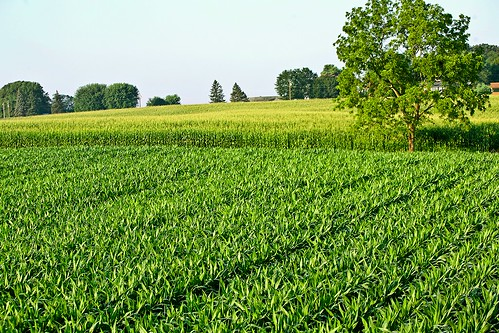 tree art field landscape outside photo high corn cornfield day image outdoor farm altitude stock over creative free commons clear license walt husk overhead husks wls stoneburner waltstoneburner