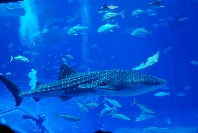 Giant Whale Shark http://www.flickr.com/photos/vvnlau/2762415283/