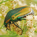 Green June Beetle - Photo (c) Jerry Oldenettel, some rights reserved (CC BY-NC-SA)