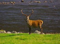 """A real """"Monarch of the Glen"""""""