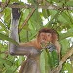 Proboscis Monkey (Nasalis larvatus),