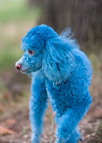 Blue Dyed Standard Poodle Animals Zoo Par...