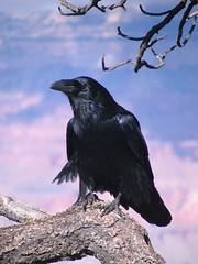 flower(0.0), cinclidae(0.0), blackbird(0.0), animal(1.0), branch(1.0), wing(1.0), raven(1.0), crow(1.0), fauna(1.0), american crow(1.0), beak(1.0), bird(1.0), rook(1.0), wildlife(1.0),