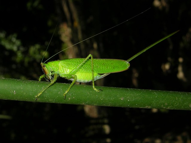 Sabre-like ovipositor of the female unicorn katydid (Copiphora brevirostris), BCI, Panama