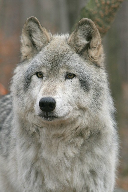 IMG#5483 TIMBER WOLF