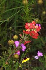 Llano County Indian Paintbrush -- 5/17/09