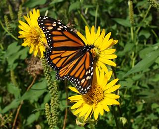 ButterflyonPrairieDock
