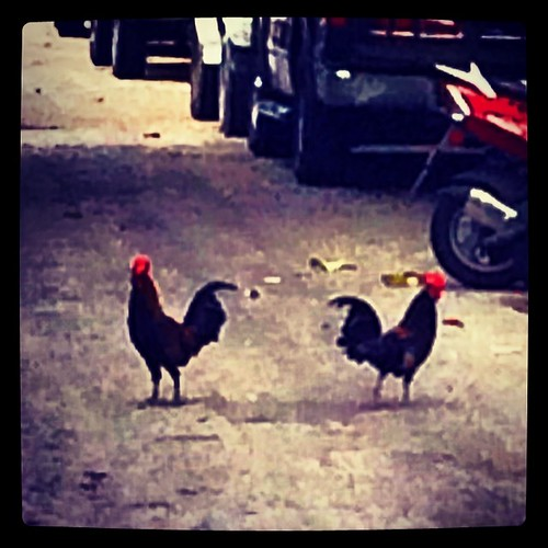 Key West chickens trying to cross the road.