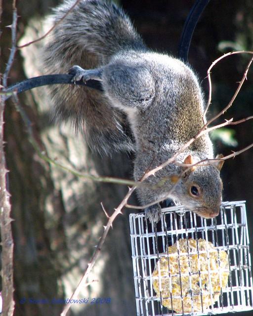 2008-02-28 squirrel