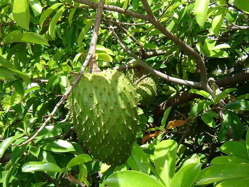 Guyabano – The Miraculous Fruit